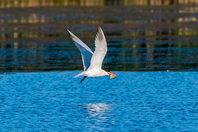 Caspian Tern holding fish in bill (2)