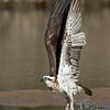 Eastern Osprey, Tallebudgeraba Creek, Burleigh Heads, Queensland.