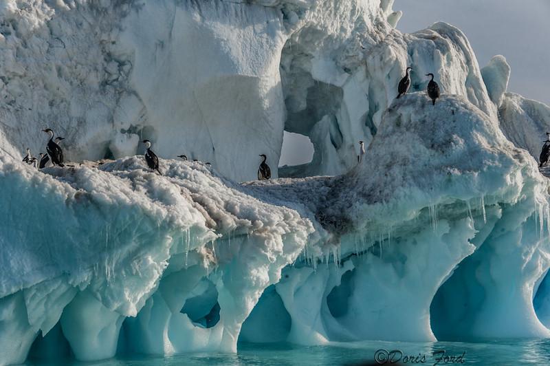 A huge iceberg with Cormorants  Antarctica
