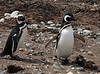 Magellanic Penguins (Spheniscus magellanicus) returning from the sea to their respective burrows.  Los Pingüinos Natural Monument.  Isla Magdalena.  Strait of Magellan.  North of Punta Arenas, Southern Patagonia, Chile.