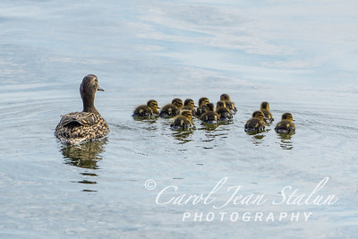A female mallard and her ducklings swim in the Potomac River near Jones Point Park in Alexandria, VA on May 5, 2015.
