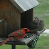 cardinal and dove doing lunch