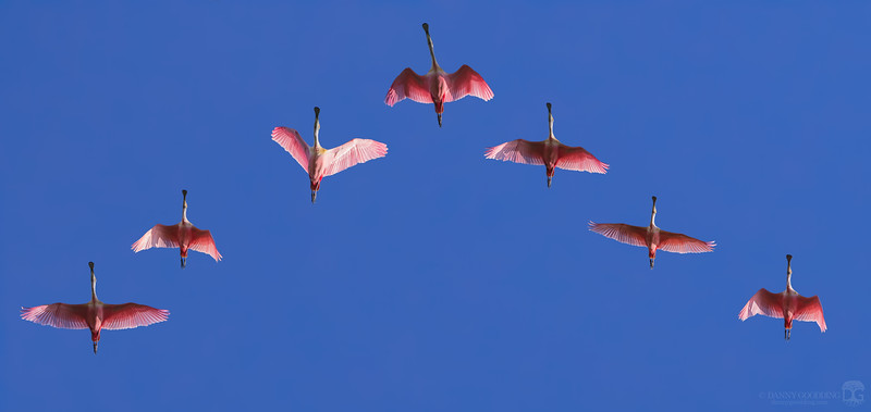 Roseate spoonbill flyover