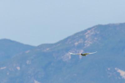 Caspian Tern Against the Mountains
