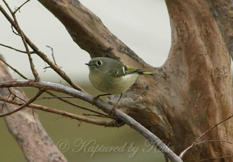 Cheeky Little Ruby-crowned Kinglet