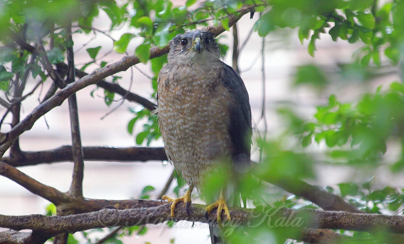 Sharp-shinned Hawk Turns Around And Spots Me