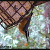 Red-breasted Nuthatch ~ Sitta canadensis