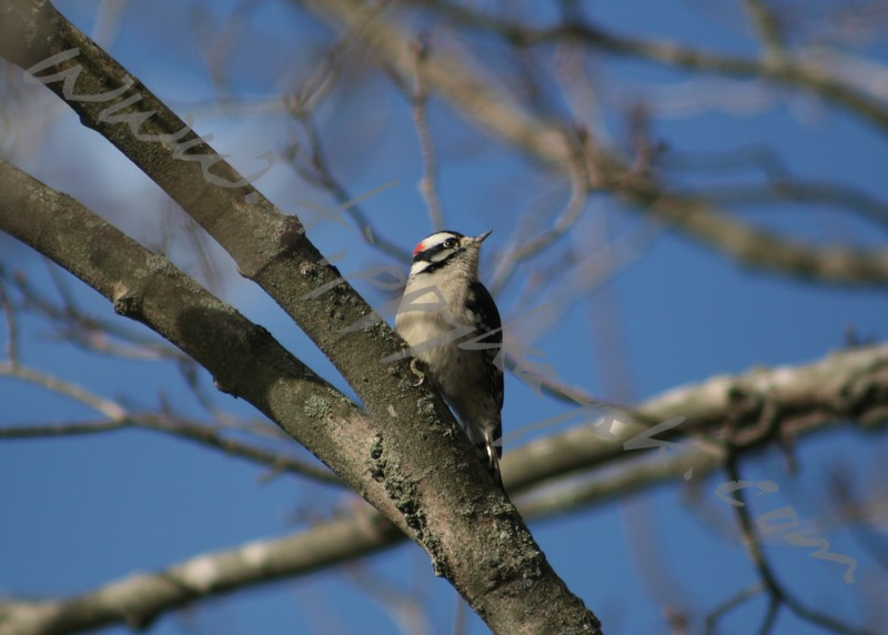 Downy Woodpecker - Version 2
