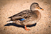 Camo Duck
