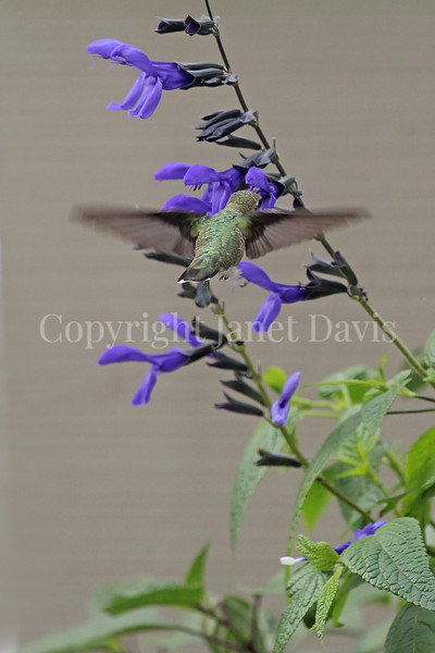 Archilochus colubris – Ruby throated hummingbird on 'Black and Blue' Hummingbird Sage 4