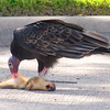 Turkey Vulture Starts To Feed