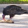 Turkey Vulture Starts To Feed