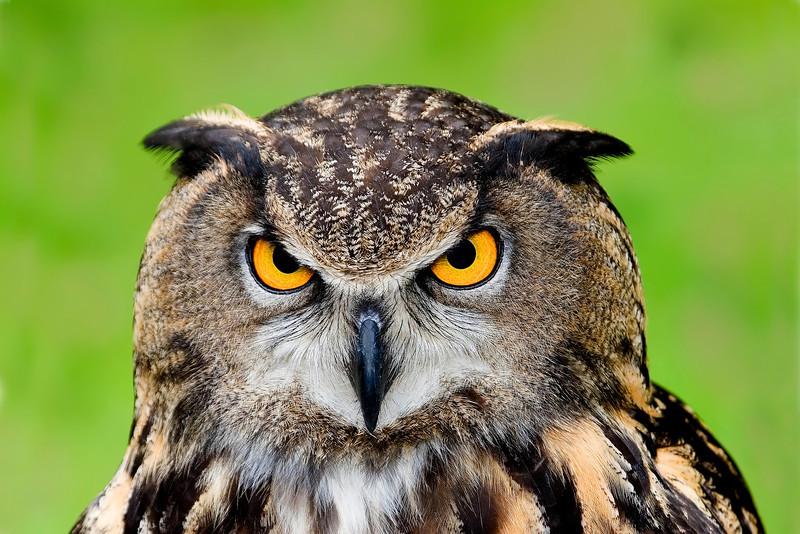 European Eagle Owl III