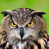 European Eagle Owl III