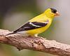 Male American Goldfinch in full plumage
