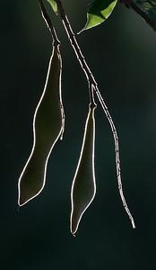 Backlit whisteria pods