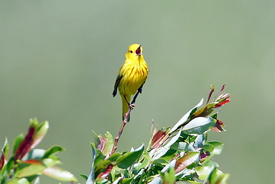 Yellow Warbler in Minnesota