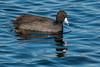 26-Dec-2014<br /> 2:16pm<br /> American Coot<br /> Great Meadows