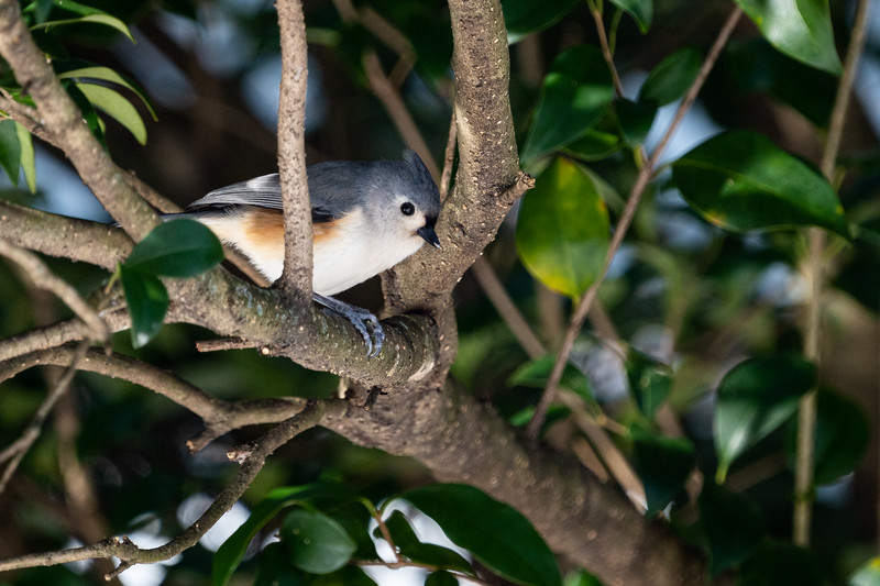 Tufted Titmouse in My Backyard