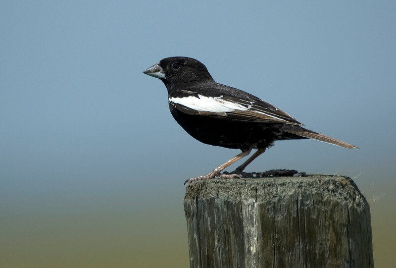 A Lark Bunting perches on a fence post in Grasslands National Park, Saskatchewan.