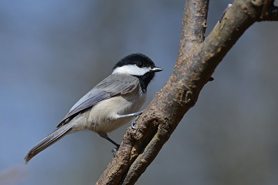 Chickadee in the Sun
