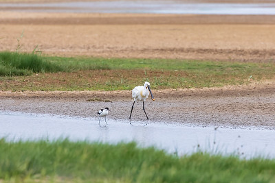 Spoonbill and Avocet in step