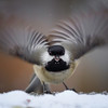 Carolina Chickadee Take Off