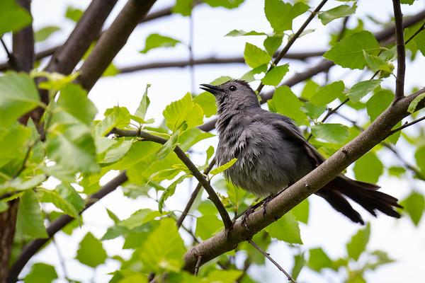 Gray Catbird at the National Zoo
