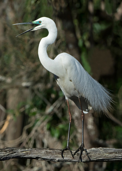 Great Egret, Tallebudgera, Gold Coast.