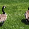 Branta canadensis - Canada geese 2