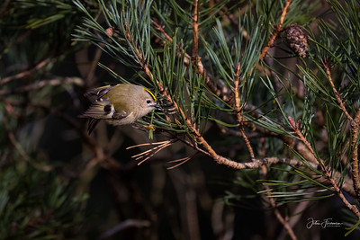 Goldcrest, New Forest