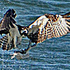 OSPREY RISES UP OUT OF THE WATER WITH A FRESH CATCH