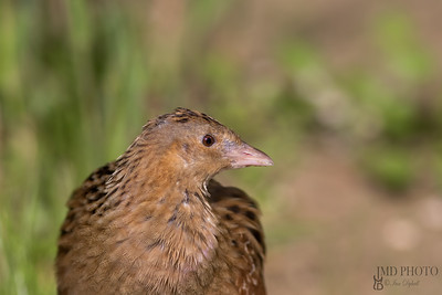 Corncrake bird in close up profile. Countryside nature trail wildlife.