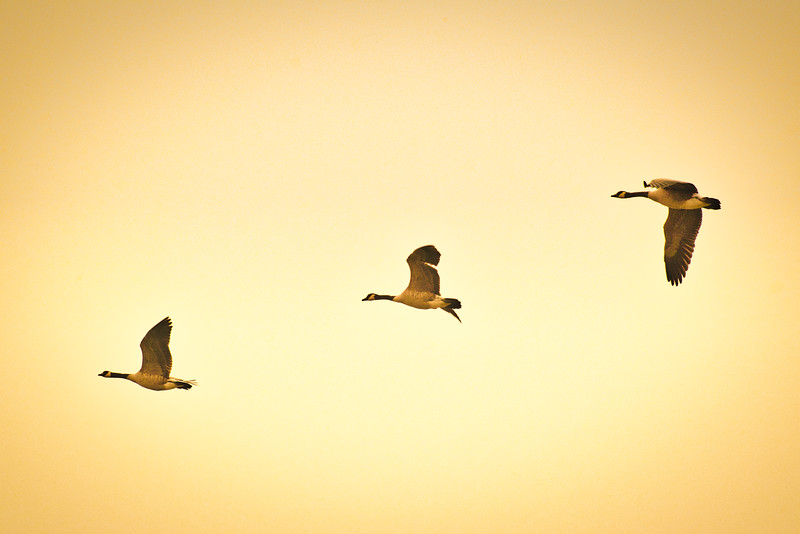 Geese In Smoky Sky