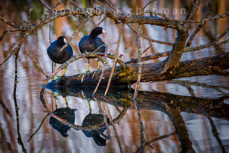 Coots on a Log