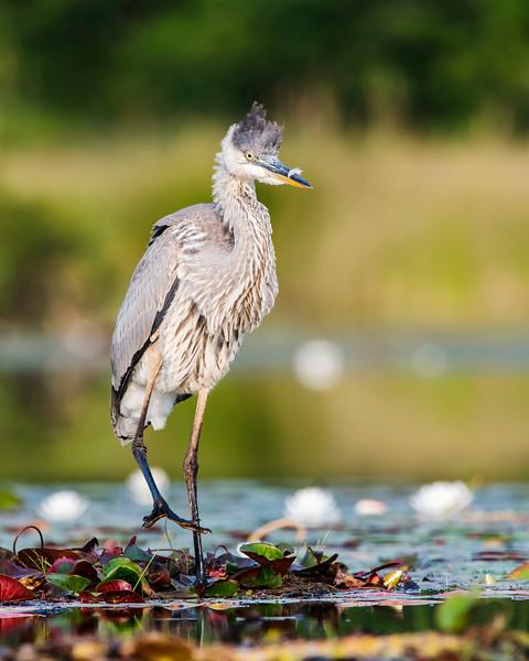 Punk Heron