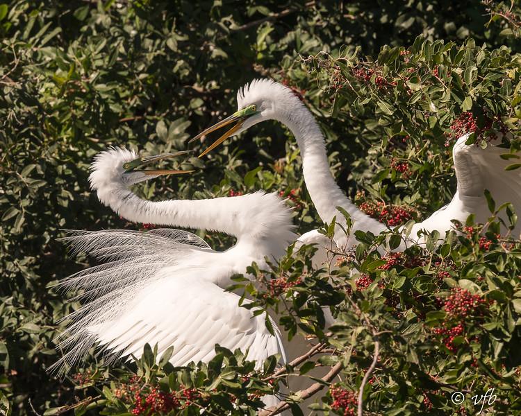 Snowy Egrets Squabble