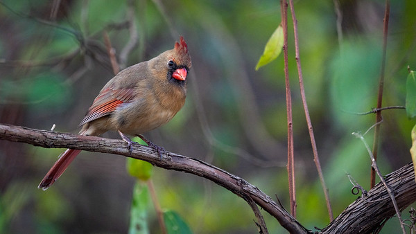 Female Northern Cardinal at Claude Moore Park