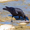 Crows Like Sushi Too