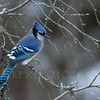 Eastern Bluejay