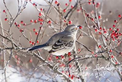 Bird 4 Mockingbird Berry