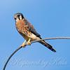 My Favorite Little Falcon On His Favorite Perch