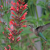 Archilochus colubris – Ruby throated hummingbird on red Agastache 1