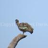 Bostrychia hagedash – Hadada ibis 1