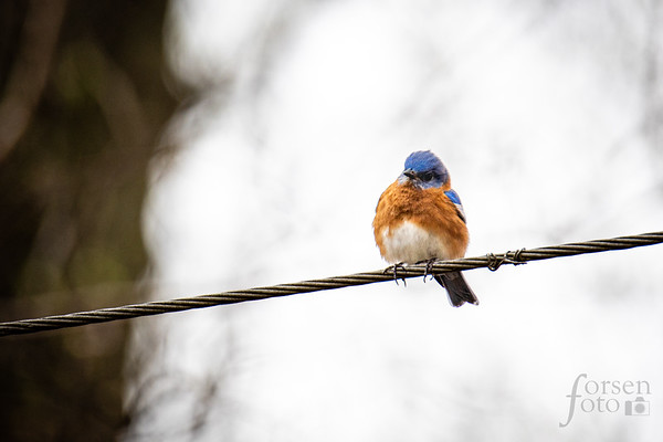 Eastern Bluebird on a Wire at Riverbend Park
