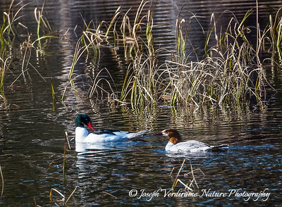 Merganser pair