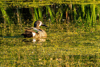 Blue Winged Teal, Spatula discors