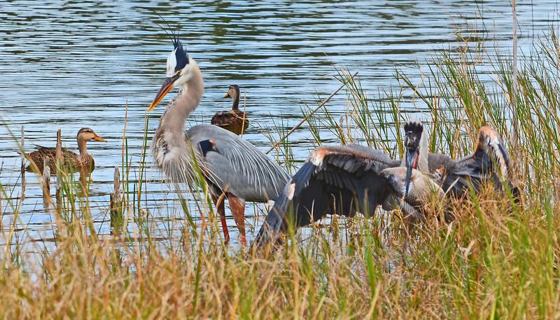 Wildlife scene with Great blue Herons.