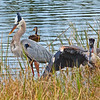 Wildlife scene with Great blue Herons.