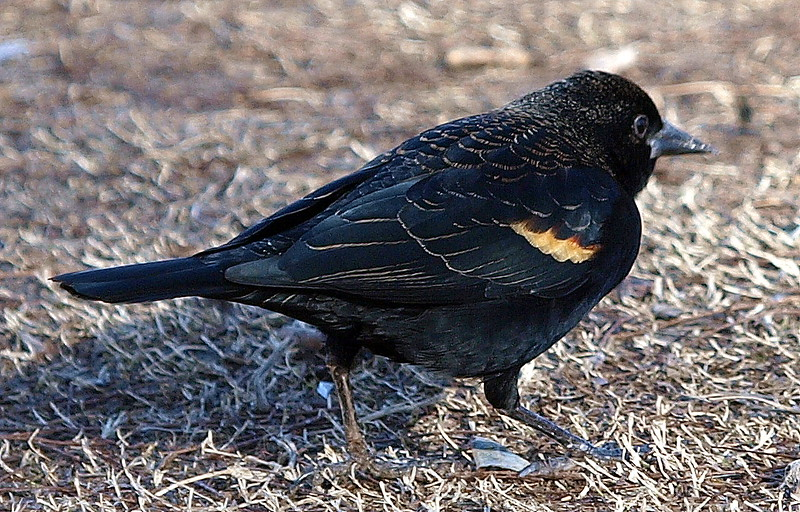 Feather Edging  On An Immature Male Red-Winged Blackbird